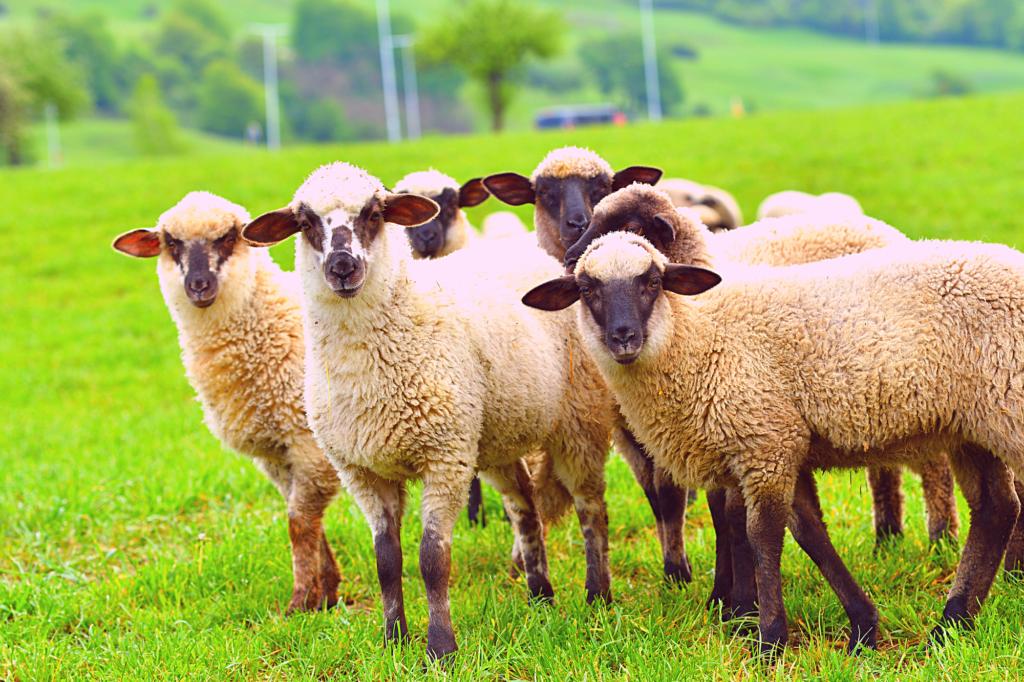 Антивакс-вівця